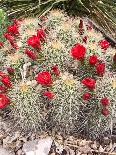 blooming cactus walk in nature