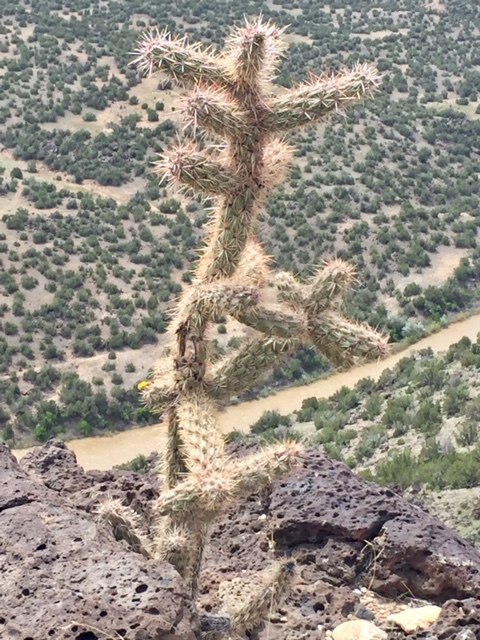 cholla plant walk in nature.