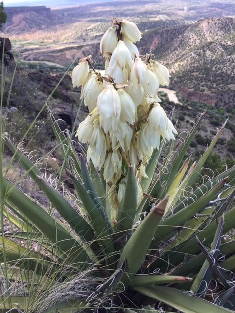 blooming yucca plant walk in nature